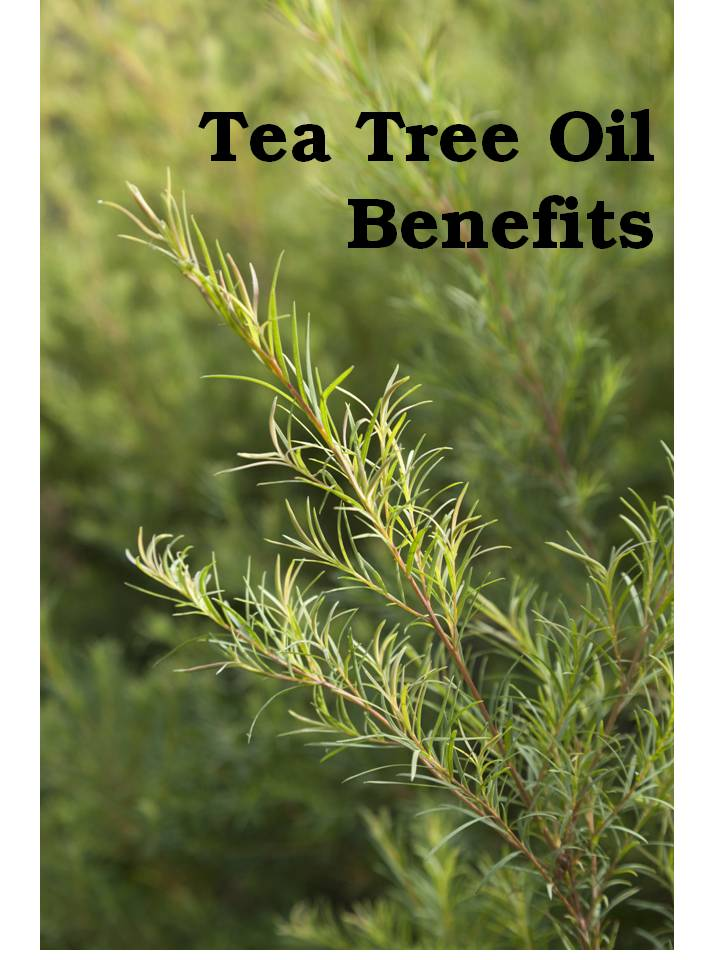 Tea Tree Oil Young Living Essential Oils For Aromatherapy